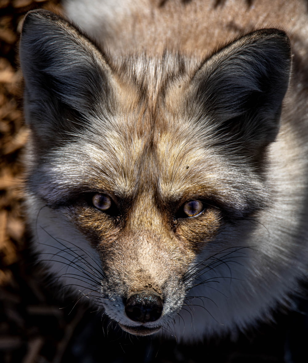 white and brown fox in close up photography