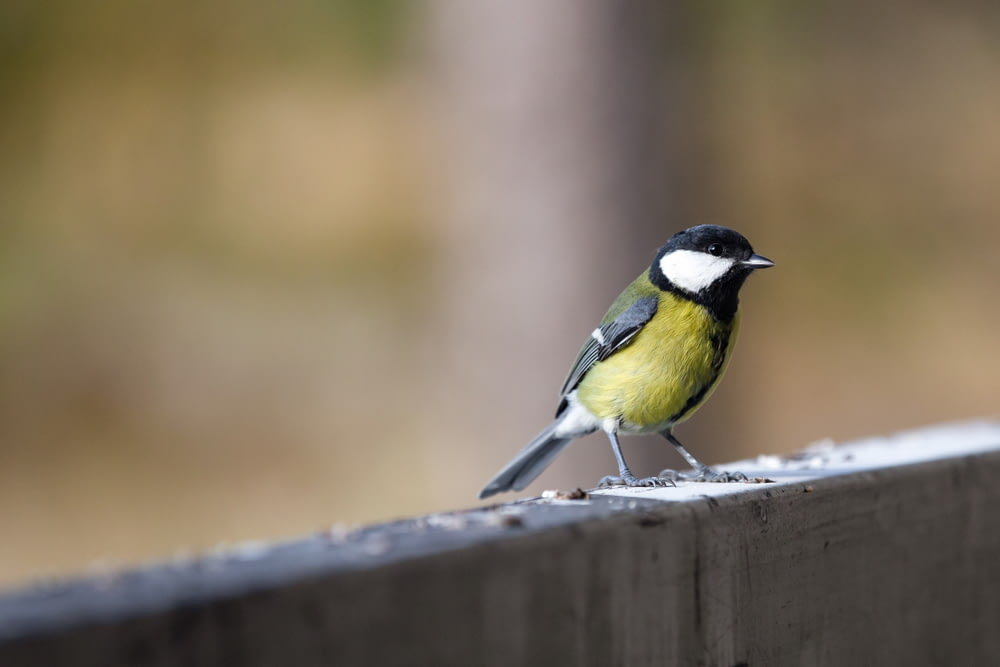 yellow black and white bird on brown wooden fence