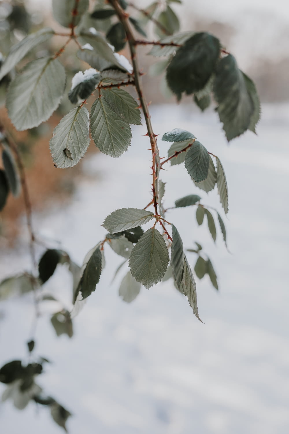 green leaf covered with snow