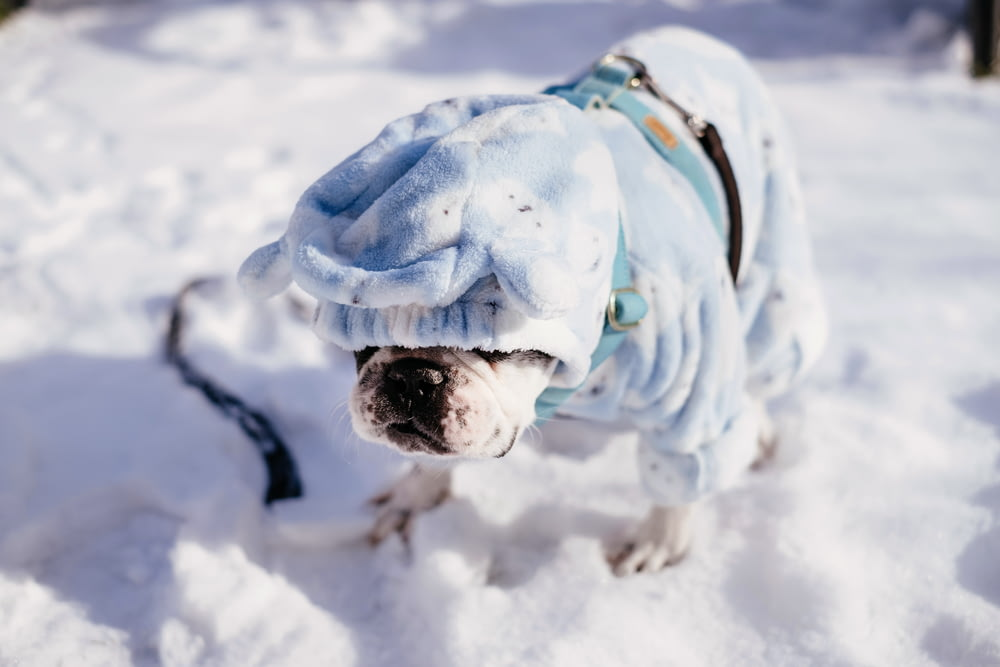 brown and white english bulldog on snow covered ground during daytime