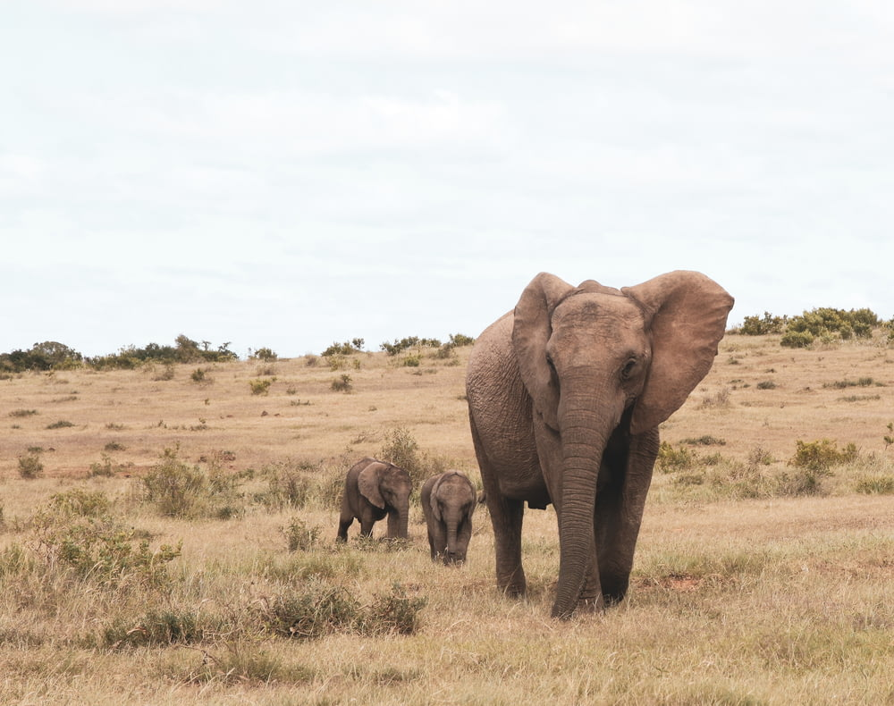 brown elephant on brown grass field during daytime