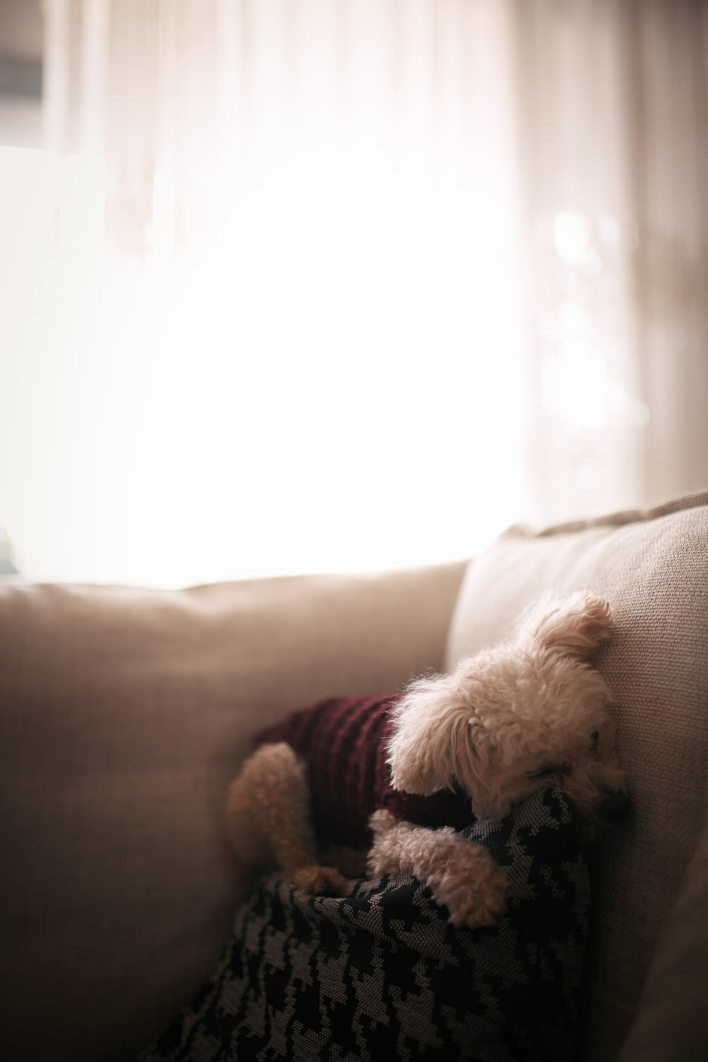 white poodle on brown sofa