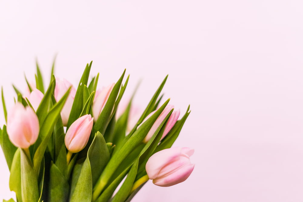 pink tulips in bloom close up photo