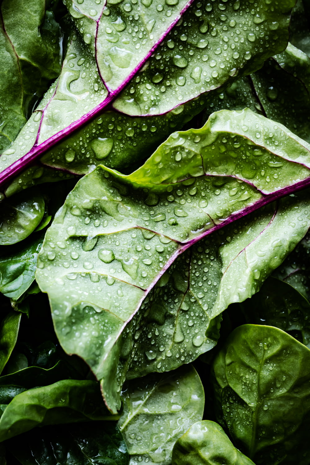green and purple leaves with water droplets