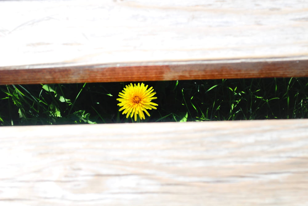 yellow flower on brown wooden plank