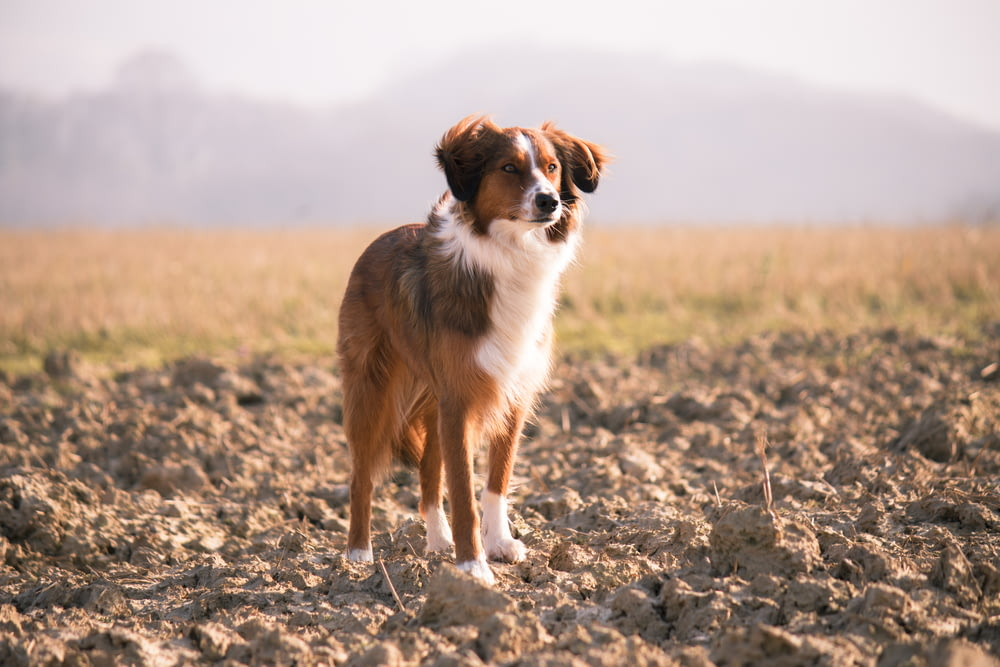 short-coated brown and white dog